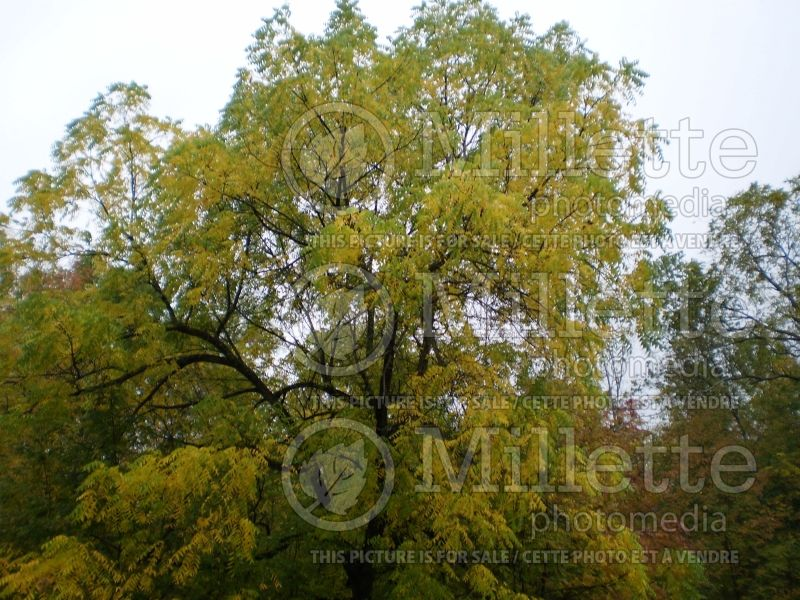 Juglans cinerea (butter nut) 10