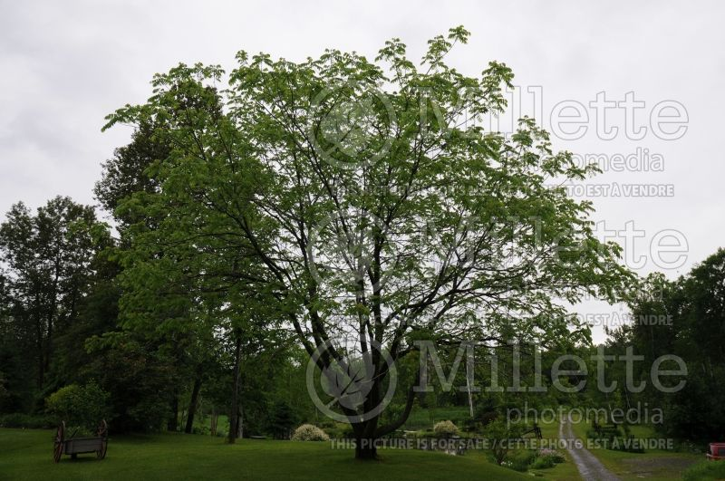Juglans cinerea (butter nut) 3