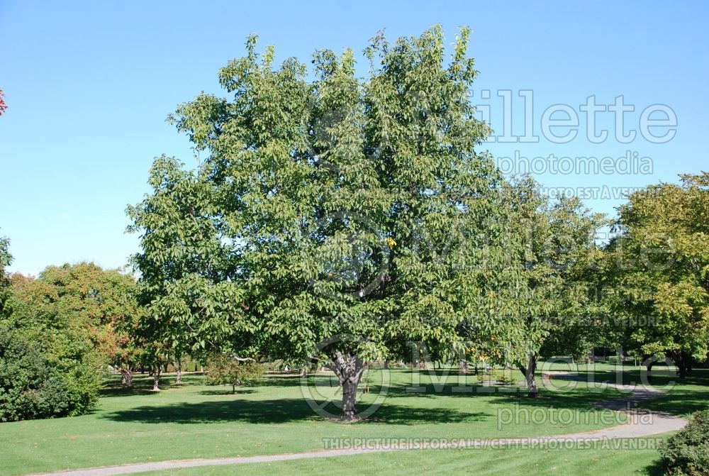 Juglans Carpathian (Carpathian English Walnut) 2