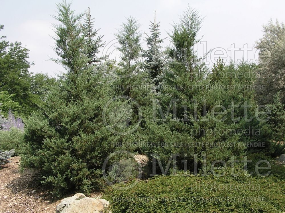 Juniperus Hetzii Columnaris (Juniper conifer) 1