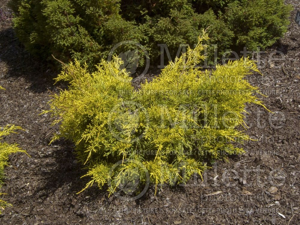 Juniperus Saybrook Gold (Chinese Juniper conifer) 4