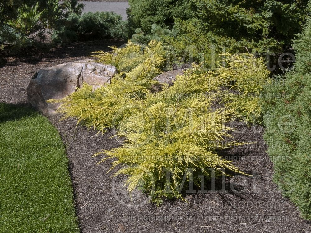 Juniperus Saybrook Gold (Chinese Juniper conifer) 5
