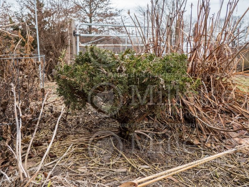 Juniperus Shimpaku (Chinese juniper conifer) 2