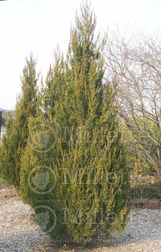 Juniperus Spartan (Juniper conifer) 4