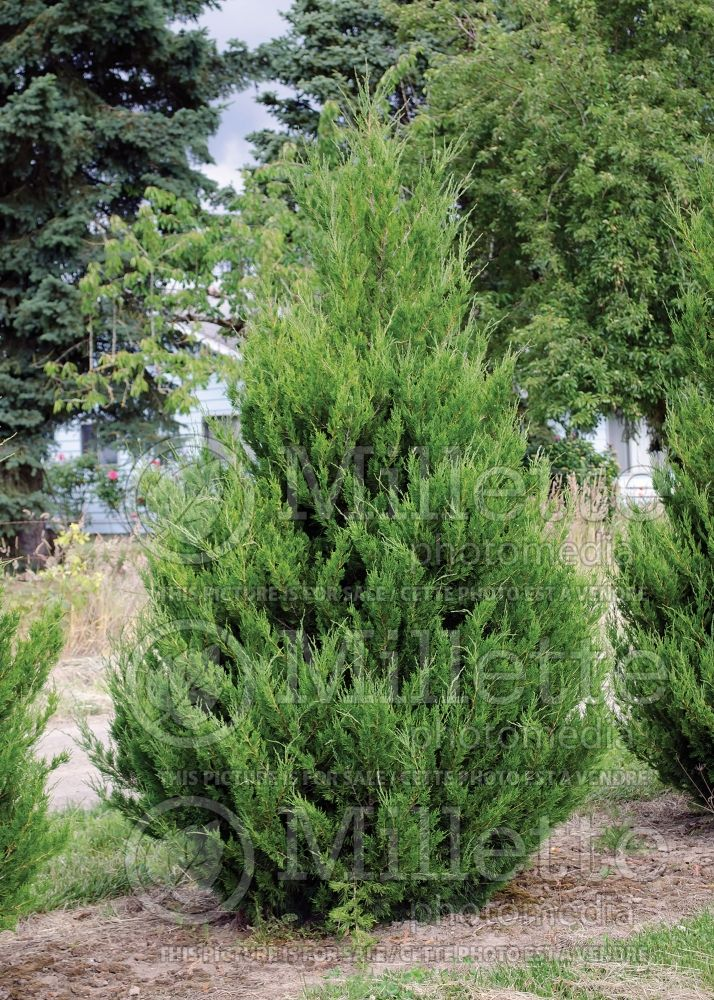 Juniperus Spartan (Juniper conifer) 2