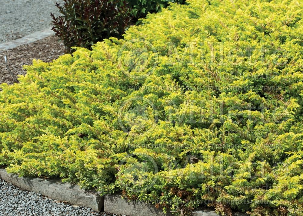 Juniperus Golden Pacific (Juniper conifer) 2