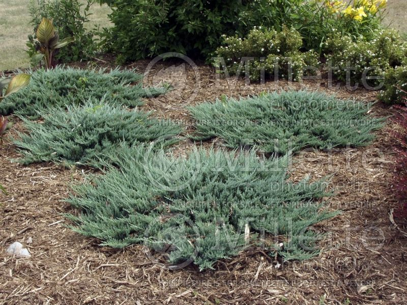 Juniperus Blue Chip (Juniper conifer) 11