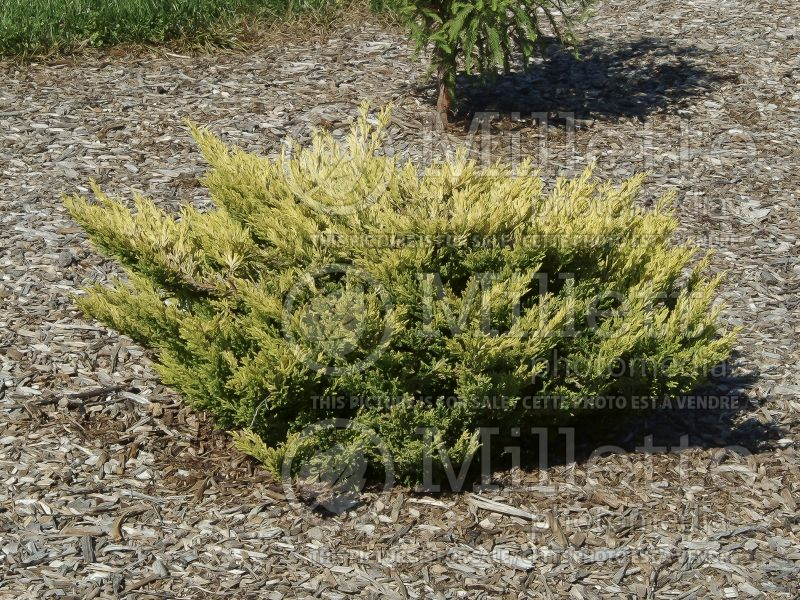 Juniperus Limeglow (Juniper conifer) 6