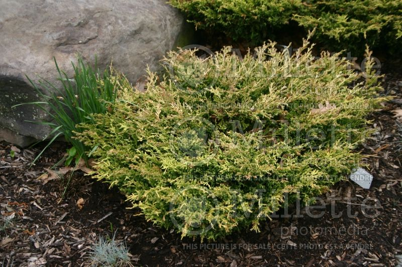 Juniperus Limeglow (Juniper conifer) 2