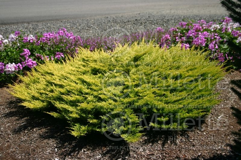Juniperus Limeglow (Juniper conifer) 4