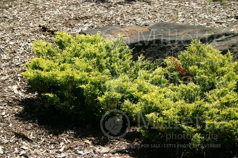 Juniperus Limeglow (Juniper conifer) 1