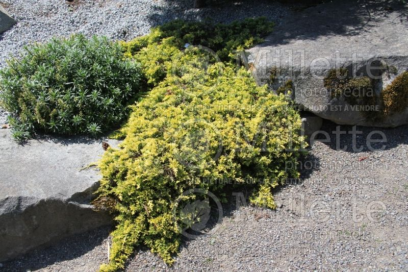 Juniperus Mother Lode (Juniper conifer) 12
