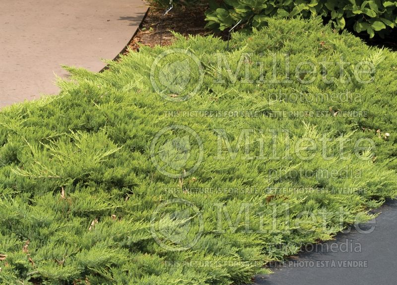 Juniperus Broadmoor (Juniper conifer) 4