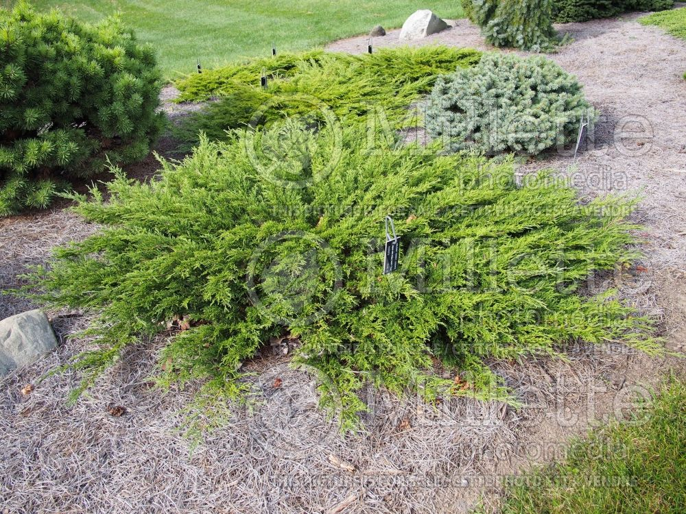 Juniperus Monna (Juniper conifer) 2