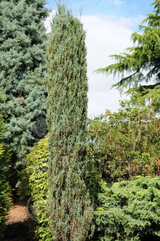 Juniperus Blue Arrow (Juniper conifer) 4
