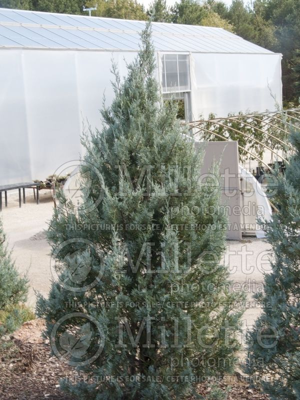 Juniperus Wichita Blue (Juniper conifer) 3