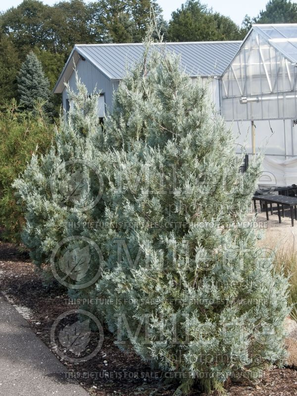 Juniperus Wichita Blue (Juniper conifer) 4