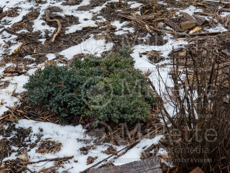 Juniperus Blue Star (Juniper conifer) 8