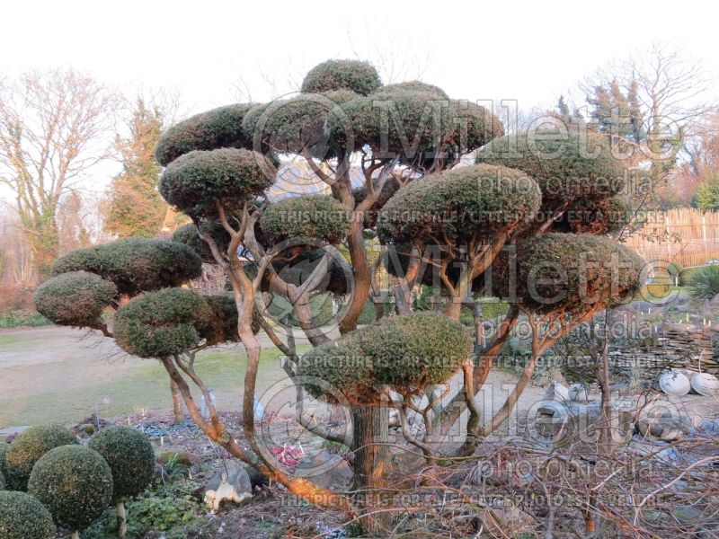 Juniperus - topiary (Juniper conifer) 8