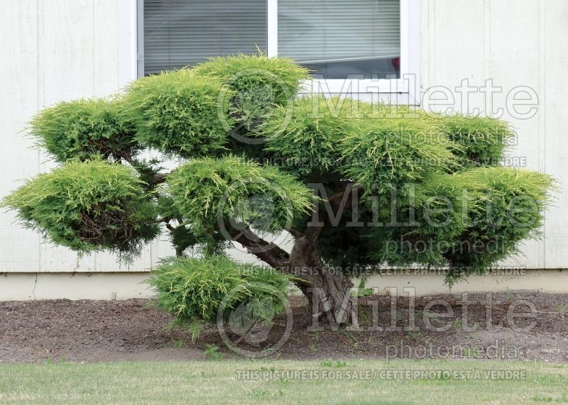 Juniperus - topiary (Juniper conifer) 12