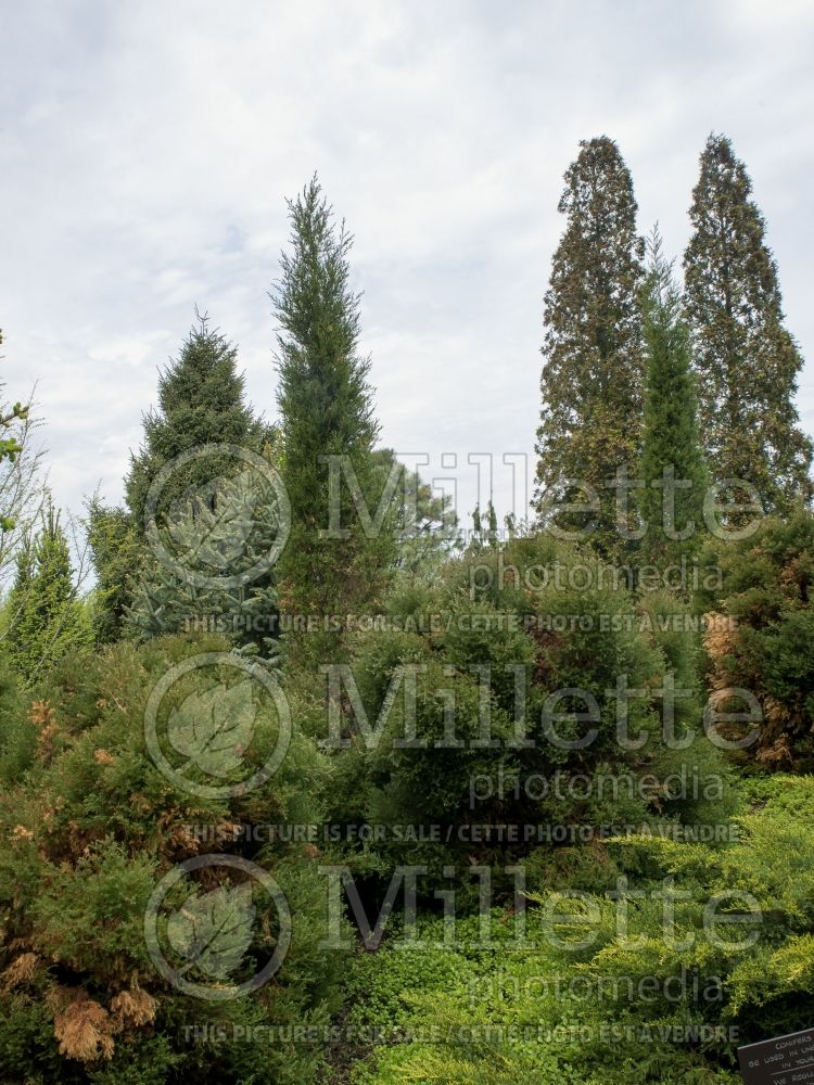 Juniperus Taylor (Juniper conifer) 1