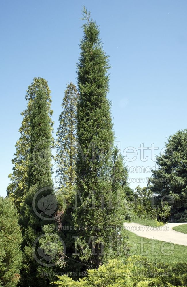 Juniperus Taylor (Juniper conifer) 2