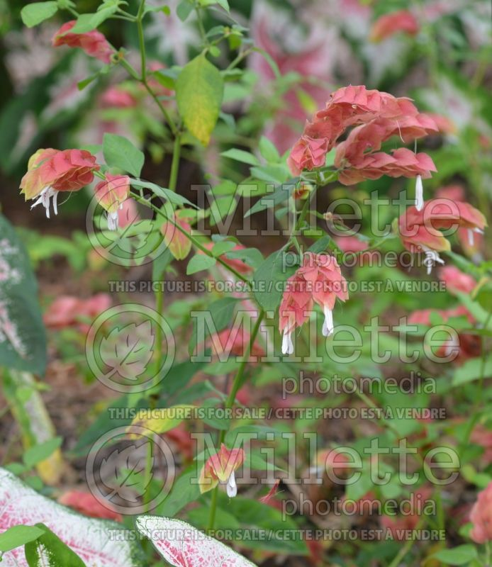 Justicia Red Pinecone (Shrimp Plant) 1