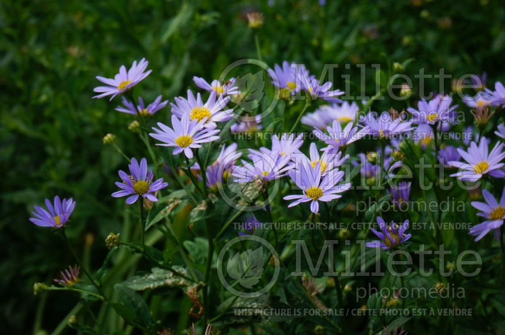 Kalimeris Blue Star (Japanese aster) 4