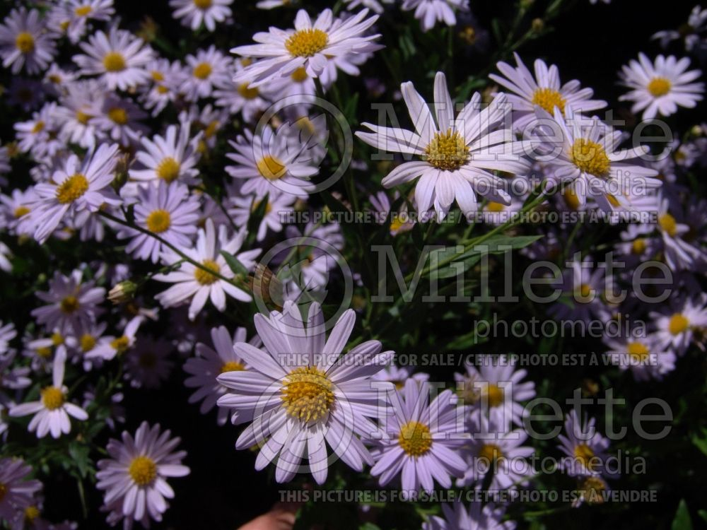Kalimeris Blue Star (Japanese aster) 6