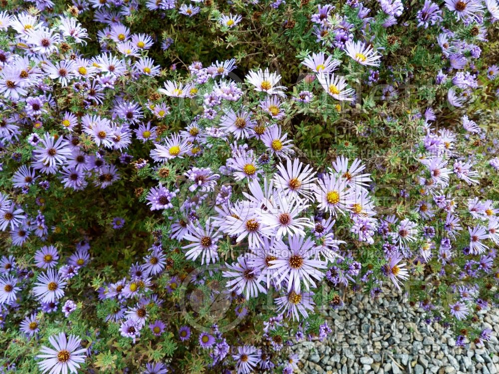 Kalimeris Blue Star (Japanese aster) 2