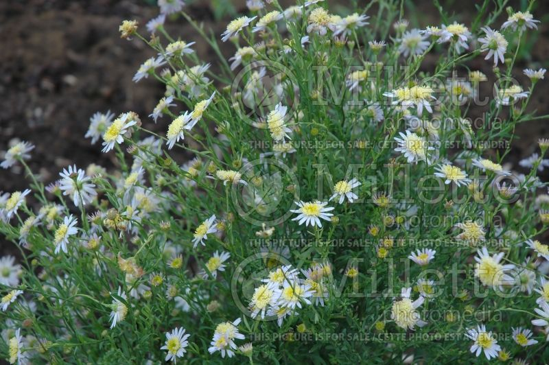Kalimeris mongolica (double Japanese aster) 1