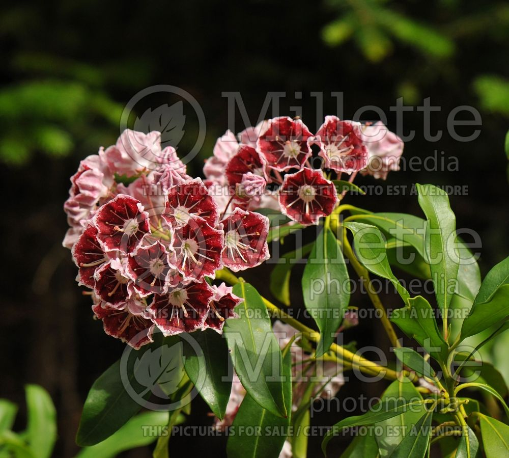 Kalmia Carousel (Mountain Laurel) 1