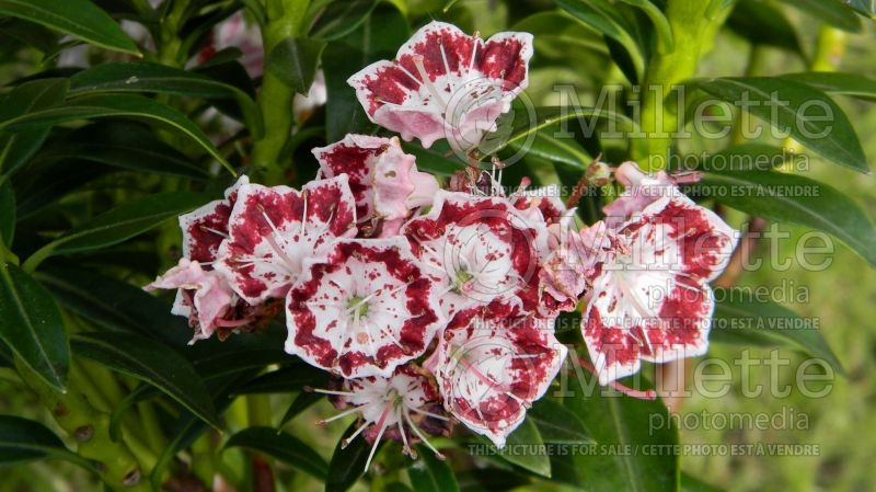 Kalmia Minuet (Mountain Laurel) 1