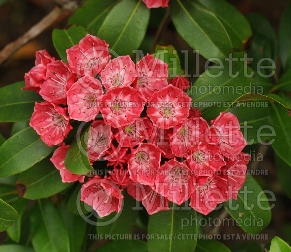 Kalmia Raspberry Glow (Mountain laurel) 2
