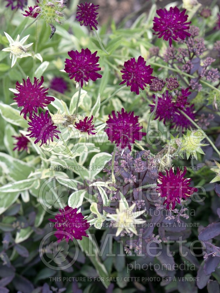 Knautia Thunder and Lightning (Field Scabiosa)  2
