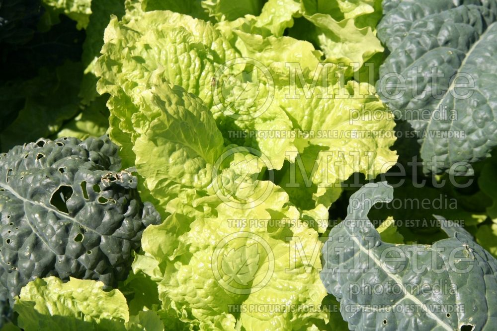 Lactuca Black Seeded Simpson (lettuce vegetable - laitue) 1