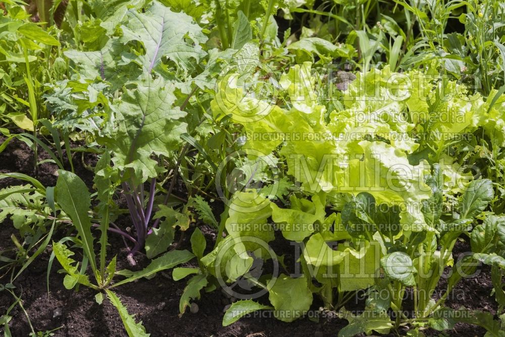 Lactuca sativa (Mixed Lettuce mesclun vegetable laitue) 10