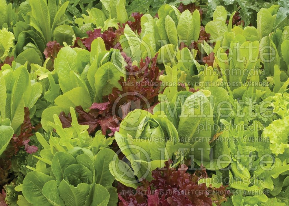 Lactuca sativa (Mixed Lettuce mesclun vegetable laitue) 5