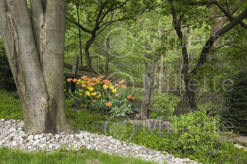 Landscaped backyard garden with a cluster of orange and yellow Tulips 2