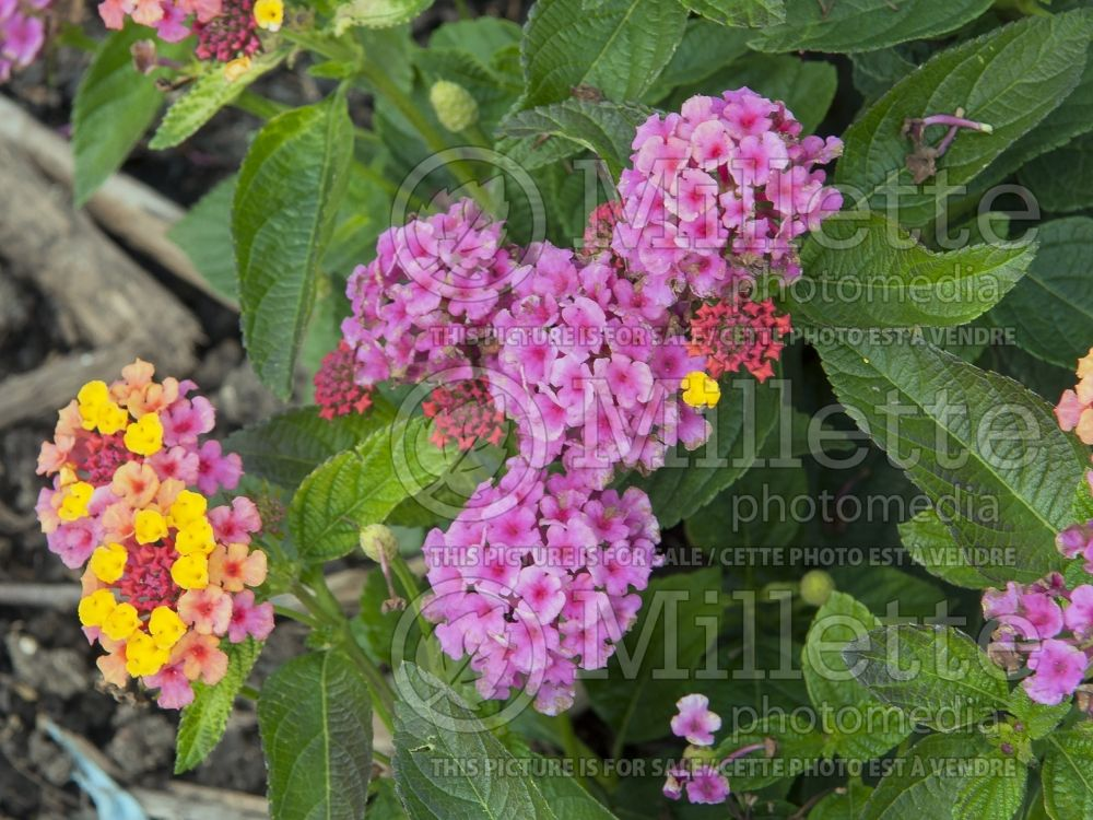 Lantana Landmark Sunrise Rose (Lantana) 4