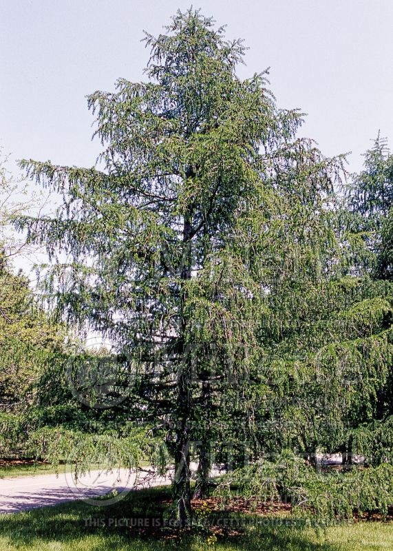 Larix decidua (Weeping Larch conifer ) 1