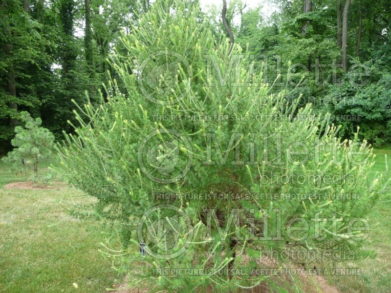 Larix decidua (Weeping Larch conifer ) 2