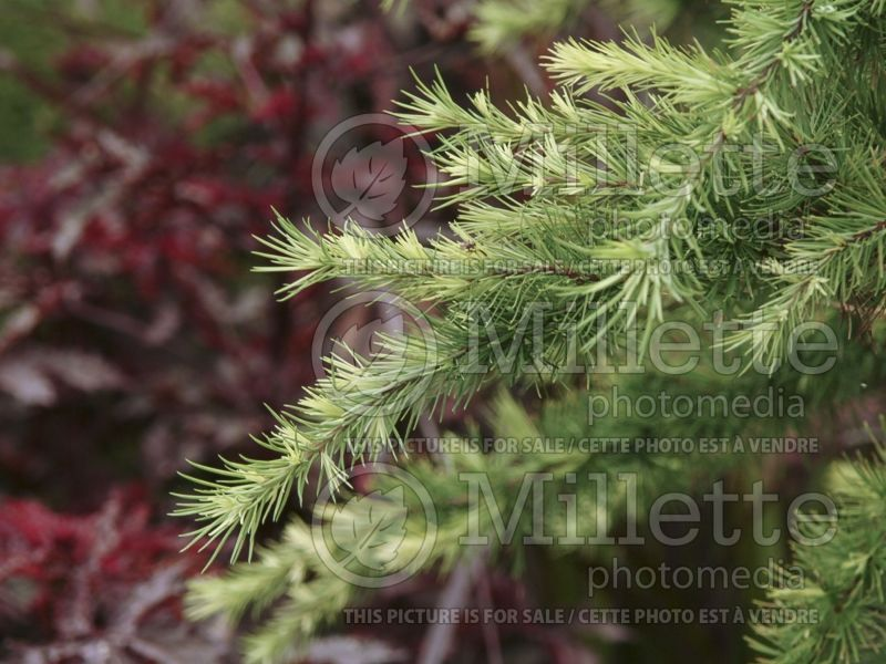 Larix Little Bogle (Larch conifer ) 1
