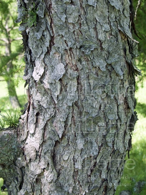 Larix Diana – bark (Japanese larch conifer ) 4