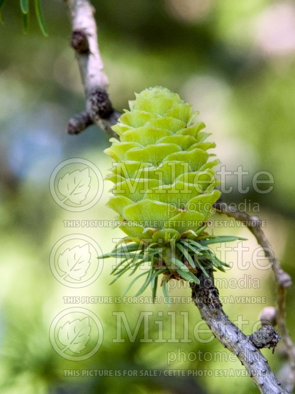 Larix Diana (Japanese larch conifer ) 6