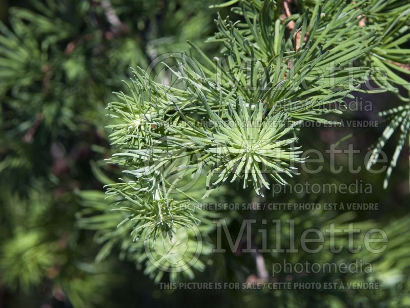 Larix Diana (Japanese larch conifer ) 7