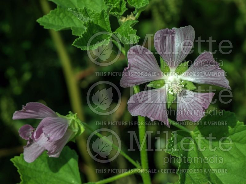 Lavatera cachmeriana (Tree Mallow) 2
