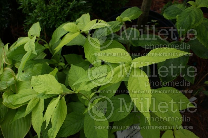 Leucosceptrum Golden Angel (Japanese Shrub Mint) 1
