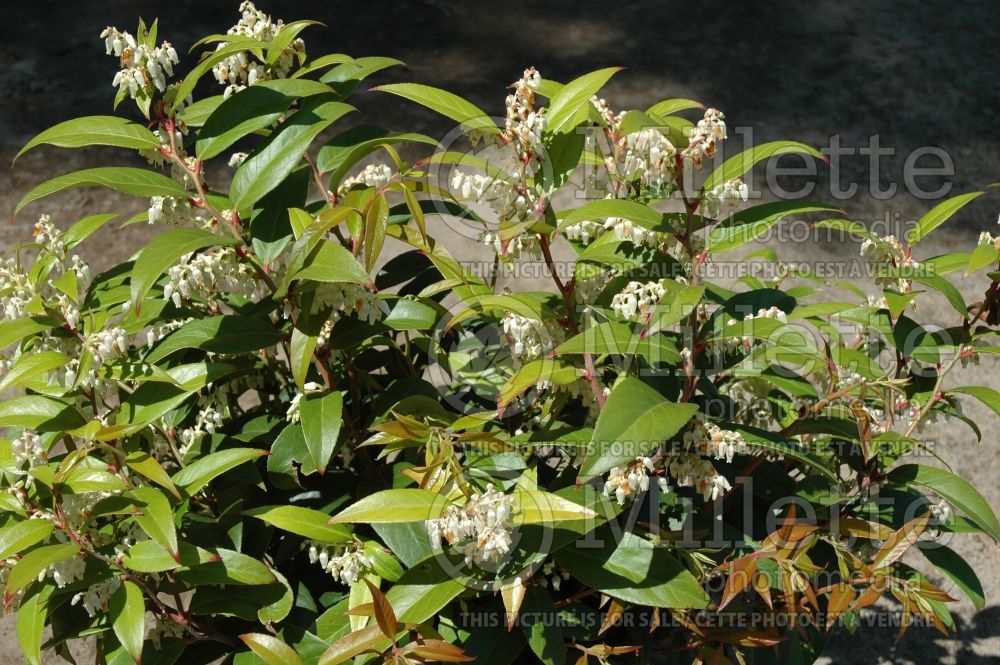 Leucothoe axillaris (Fetterbush, Dog Hobble) 2