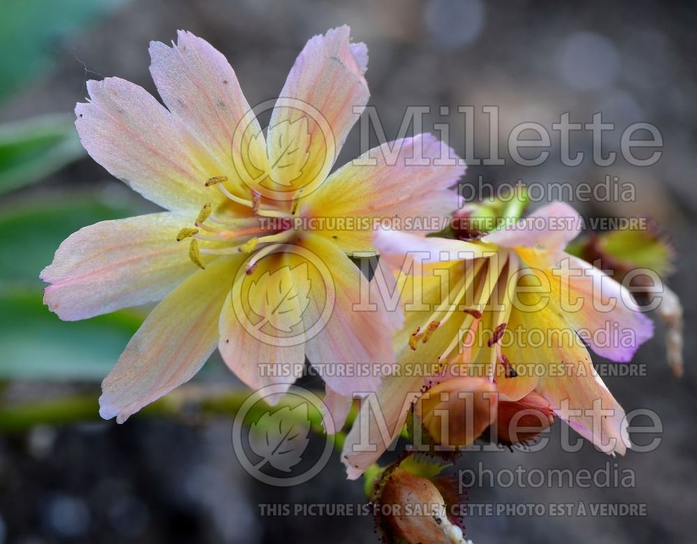 Lewisia Little Peach (Bitter Root) 4